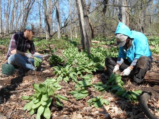 The forest floor is blanketed with ramps. We dig up clusters with a shovel and then separate each individual ramp. Pictured are Chad and Rachel.