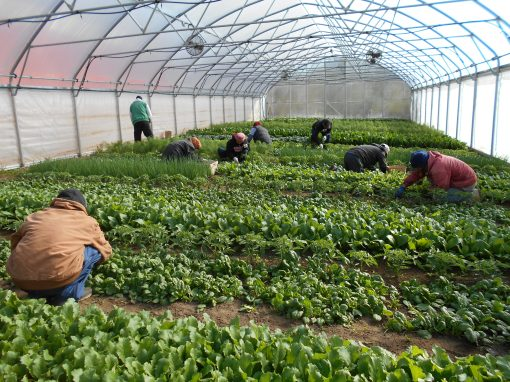The crew harvesting spinach and radishes in the hoophouse on Tuesday morning.