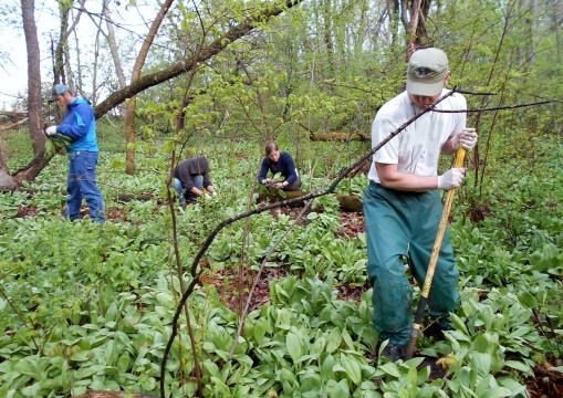 Our second week in the woods harvesting ramps. In this area of the woods the entire forest floor is blanketed with them. Eric digging up a cluster of ramps while Chad, Rachel and Becca separate individual ramps from already dug clumps.