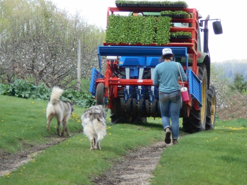 Rachel walking out to the field behind the transplanter loaded with spinach. The two dogs are pretty excited to be part of the activity.