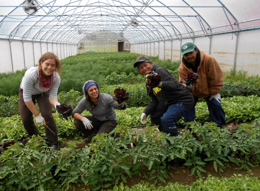 Lettuce head harvest. Becca, Rachel, Yhun and Rancy.