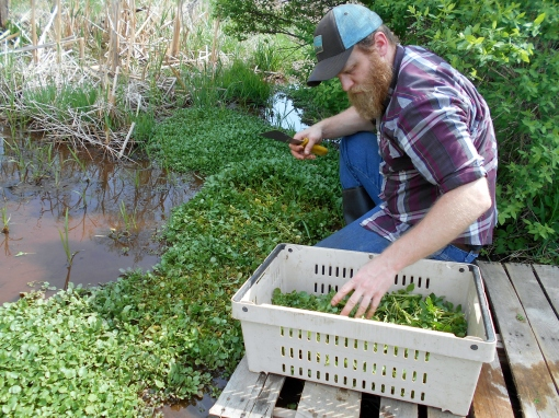 Chad filling his crate. We cut the watercress just above their roots, a bit above the water.