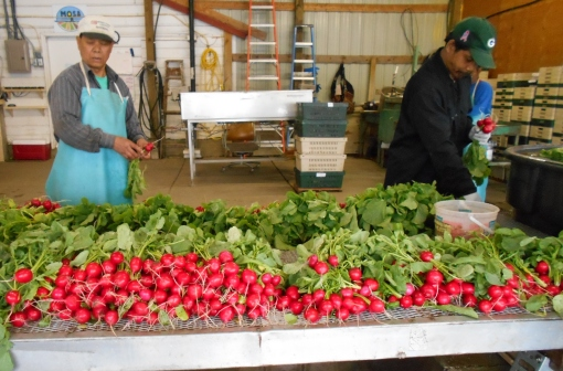 Ching and Rancy washing and banding radishes.