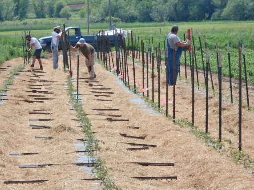Pounding posts between tomato plants. As soon as the plants get big enough we will begin to trellis them, wrapping trellising twine around each post and stretching it next to the sides of the plants.