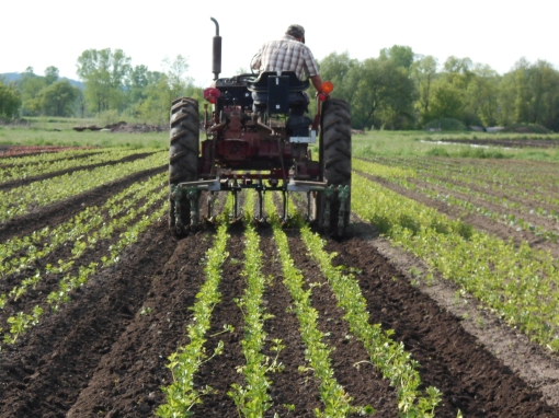 David cultivating celery. We do a lot of weeding. This is one way we do it.