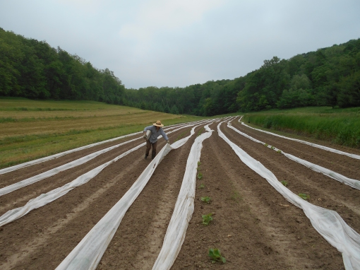 We just finished row covering this field of squash to keep those darn insect from devouring them.