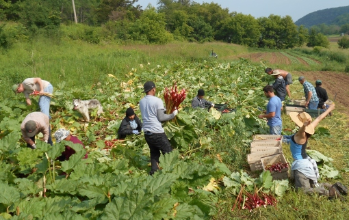 Rhubarb Harvest. Many hands helping to harvest our enormous patch of rhubarb. We have our seasonal Cambodian crew, our full time and part time crew and our worker share crew all getting hot and sweaty Tuesday morning as we pull, haul and cut the rhubarb. Fun fact: this entire patch began as three plants 20 years ago!
