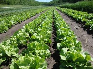 Vermont Valley lettuce