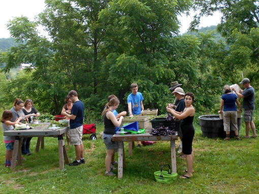 After the basil is picked, members stand around tables picking off the leaves. It is a way to enjoy the company of friends, family and other members.