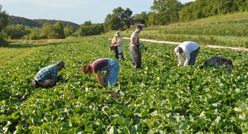 Monday morning cucumber harvest, look the sun has come out already.