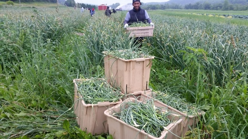 Tonny in the garlic during the scape harvest.