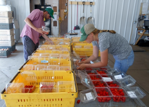 Emily, with the help of Luke, begin to organize our five harvests of the nine varieties of tomatoes. She will be looking at shape, color, consistency and flavor.