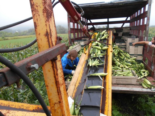 Vermont Valley sweet corn harvest 2