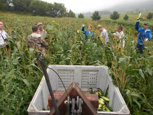 Vermont Valley sweet corn harvest 5