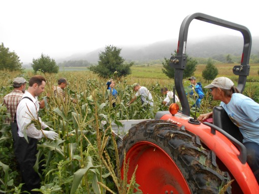 Vermont Valley sweet corn harvest 4