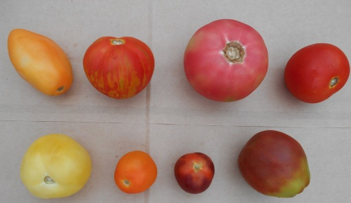Orange Banana, Red Zebra, Pink Beauty, Estiva lower row: Garden Peach, Clementine, Indigo Cherry Drops, Japanese Trifele Black