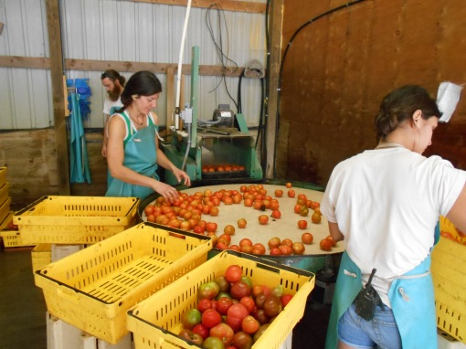 Brush washing tomatoes. All of the tomatoes we harvest go through a brush washer and get counted into crates. Once again, we take the number of tomatoes we harvest and divide them by the number of bags we will pack. This week we harvested over 11,000 tomatoes!