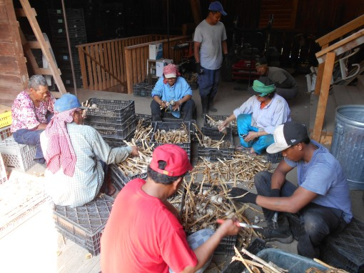 Cleaning garlic. Upstairs in the barn the Cambodian crew clips the stalks from garlic bulbs, the first step in cleaning them up for delivery.