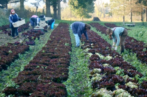 Red lettuce harvest. Eric J-Mo and Becca cut the lettuce heads while everyone else removes any bad leaves and carefully puts 6 in each crate.