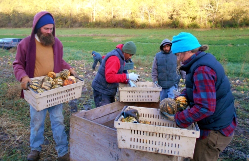 Harvesting Carnival squash last Friday. We clip the stems, put them into crates, carry the crates to the bulk bin and count them into the bin.