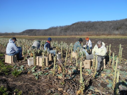 The crew harvesting Brussels sprouts on a warm afternoon