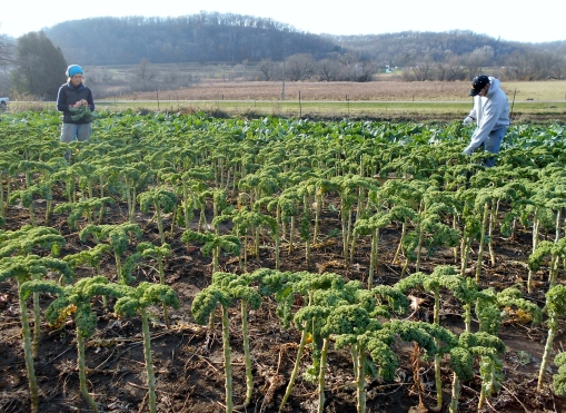 Becca and Eric harvesting and banding kale