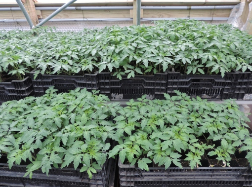 Crates of tomatoes ready to be planted in the hoophouse.