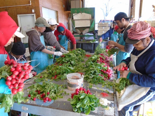 Washing and banding radishes in the packing shed.