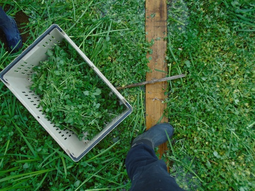 A harvester's view of the watercress while standing on the board. If anyone slips off the board they sink into muck up to their knees.