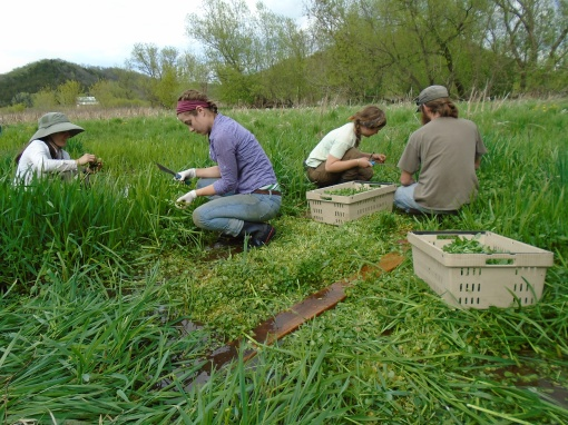Watercress harvest. We find the watercress just behind our greenhouse growing wild in a spring fed stream.