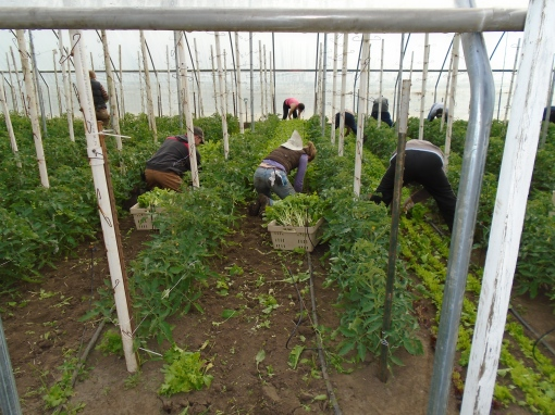 Cleaning out the beds we have finished harvesting. Removing the roots of arugula as we make more room for the tomatoes.