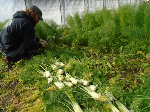 Harvesting fennel. One of the last standing crops in the hoophouse.