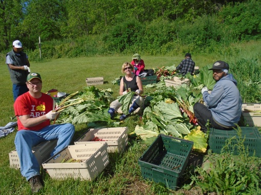 Rhubarb harvest, featuring Matt and Vicki, two worker shares. We were hard at this harvest for 4 hours and we kept adding people to the crew as they became freed up from other tasks, until there were 16 of us.