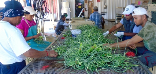 Sophal, Ryna, Rancy and Phearo banding garlic scapes.
