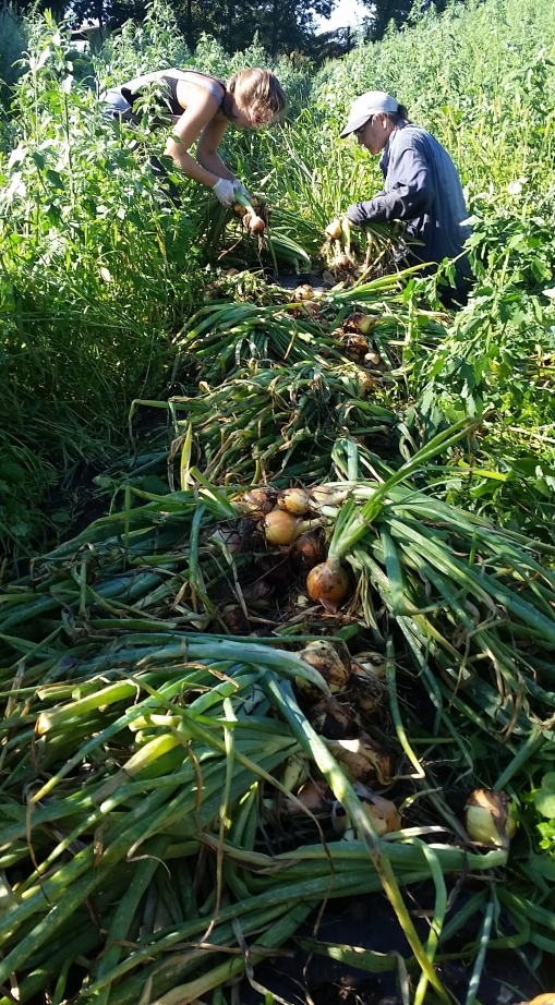 Abby and Barb pulling onions and laying them out. Note lots of tall weeds between the beds of onions, no weeds in the beds!