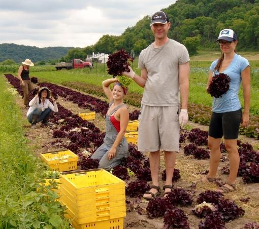 Lettuce head harvest: Becky, Eric, Abby, Georgia, Becca