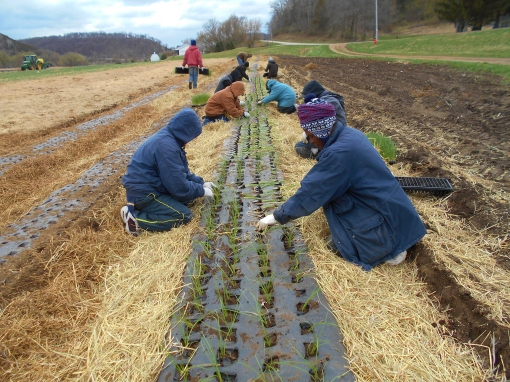 Planting onions on a chilly April morning. We plant into black plastic mulch for weed control and water retention as we drip irrigate. Drip irrigation tube is under the plastic.