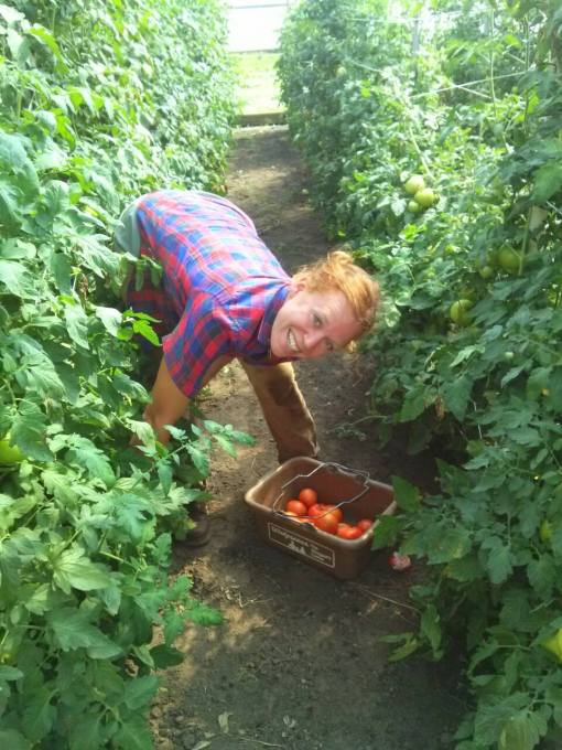 Jenny harvesting tomatoes in the hoophouse