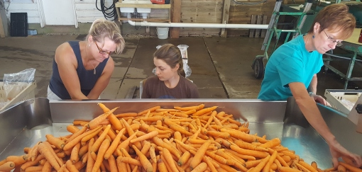 Jody, Abby and Kim bagging carrots. They carrots get pushed into the holes on each corner and fall into a plastic bag. The weight can be read on each side. Abby is putting on the bags.
