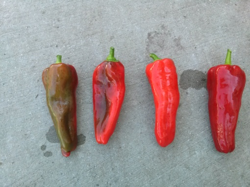 All peppers begin green in color. The Carmens shown here demonstrate different phases of ripening into a deep red.