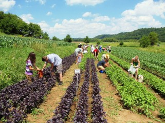 CSA members harvesting their own basil.